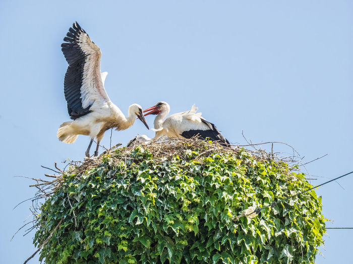 Storks in her nest Nesting Animal Themes Animal Wildlife Animals In The Wild Beauty In Nature Bird Clear Sky Day Low Angle View Nature Outdoors Sky Spread Wings Stork Togetherness Two Animals Young Stork