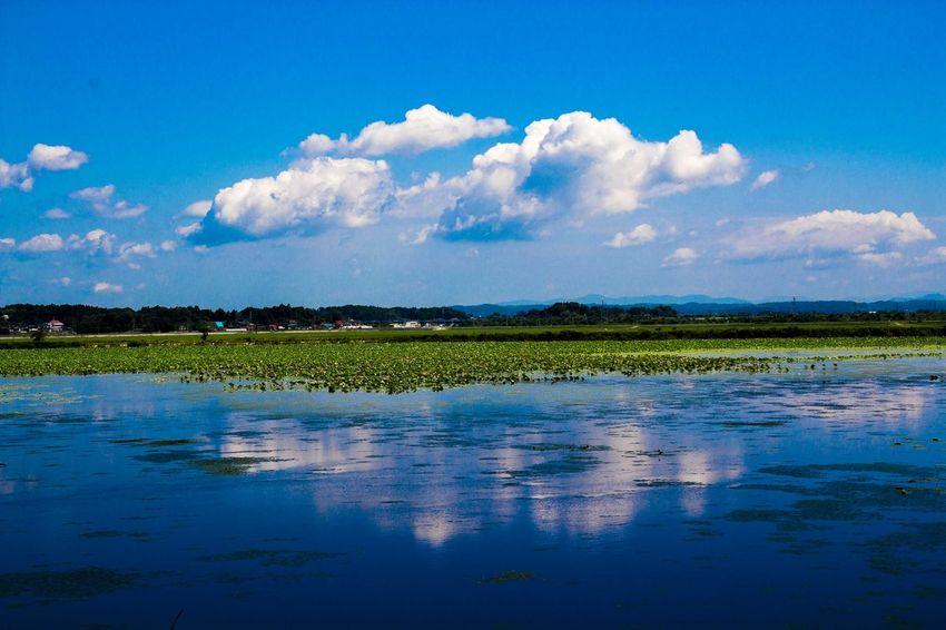 Cloud Lake Lotus Lotus Flower Sky Water Surface 伊豆沼