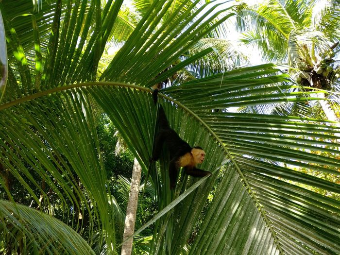 Tree Nature Green Color Growth No People Beauty In Nature Outdoors Palm Tree Animals In The Wild Animal Themes Primate Animals In The Wild One Animal Monkey Mammal Monkey In Palm Tree