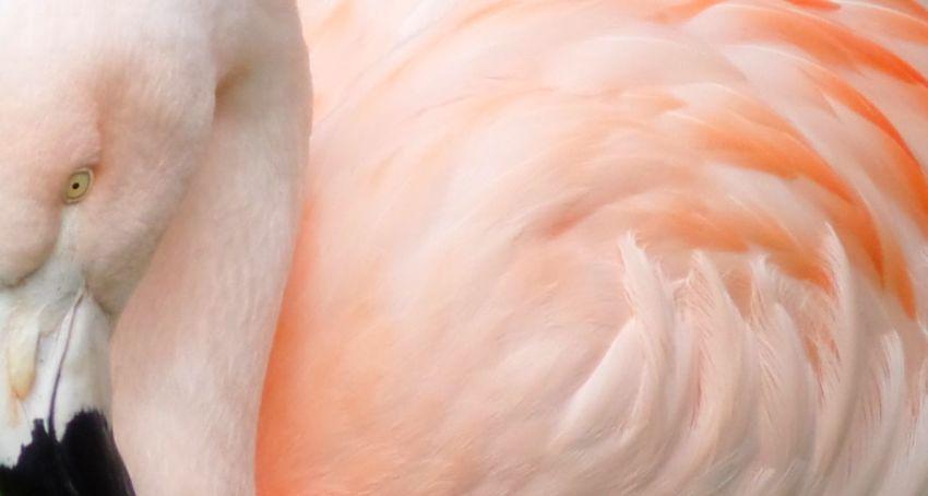 Pink Flamingo (side) Pink Flamingo Pink Flamingos Flamingo Flamingos Bird Birds Bird Profile Bird Photography Birds_collection Birds Of EyeEm  Zoo Zoo Animals  Close-up Close Up Closeup Macro Macro Photography EyeEm Macro EyeEm EyeEm Gallery EyeEmBestPics EyeEm Best Shots Eyeemphotography EyeEm Best Edits EyeEmbestshots