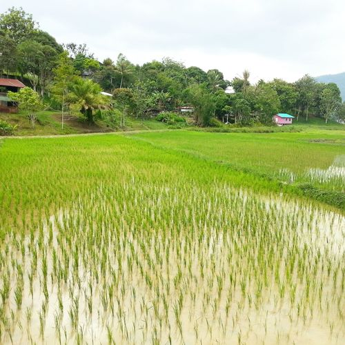 Paddy Fields at Bario Highlands in Sarawak. Taken yesterday when i was there for a visit. Malaysia Sarawak Photography Taking Photos