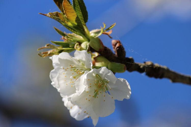 Cerezo / Prunus
