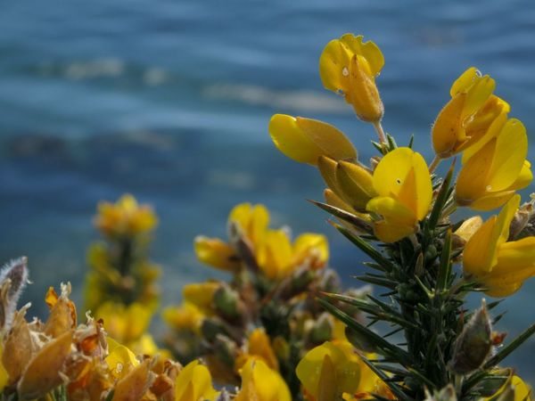 Flower Yellow Freshness Fragility Petal Growth Close-up Beauty In Nature Flower Head Nature Plant Vibrant Color Springtime Water Focus On Foreground In Bloom Blossom Botany Outdoors Day Gorse Bush Gorse Flowers Mizen Peninsula Ireland