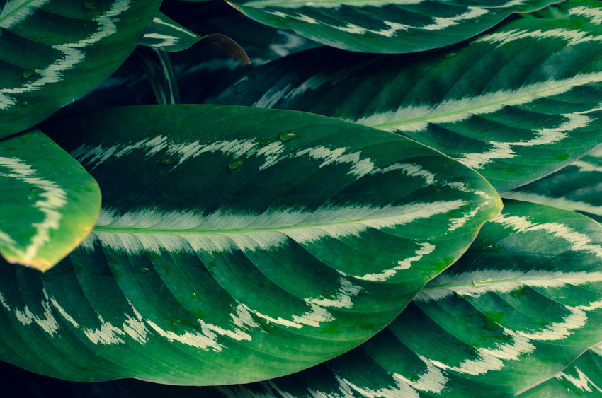 Calathea Medallion Calathea Crocata Backgrounds Beauty In Nature Calathea Calatheamakoyana Close-up Day Full Frame Green Color Growth High Angle View Leaf Leaves Natural Pattern Nature No People Outdoors Pattern Plant Plant Part Succulent Plant Sunlight Textured  Tranquility