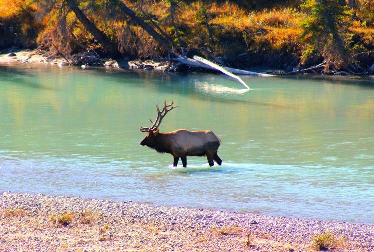Deer in a lake
