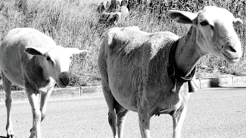 The Sheeps walking by me.. Sheepsheep Sheeps. EyeEm Black&white! Black And White Eyeem Monochrome Love Black And White Urban Sheeps Sweet Sheeps