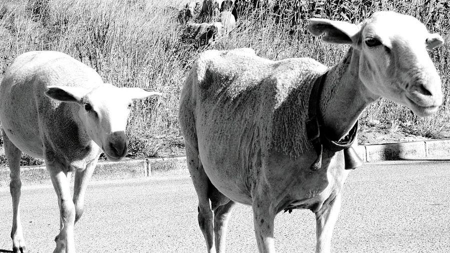 The Sheeps walking by me.. Sheepsheep Sheeps. EyeEm Black&white! Black And White Eyeem Monochrome Love Black And White Urban Sheeps Sweet Sheeps
