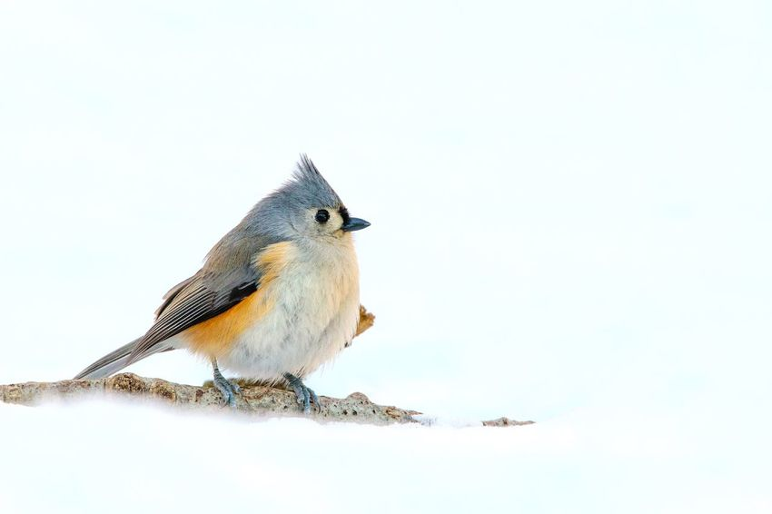 Titmouse Tufted Snow Winter Animal Themes Animals In The Wild Bird One Animal Animal Wildlife Copy Space Nature Perching Day No People Outdoors Close-up Clear Sky White Background Beauty In Nature