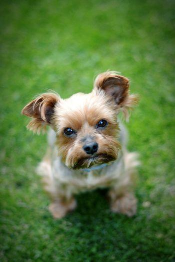 Dog Yorkshire Yorkshire Terrier Bokeh Pet Cute Yorkie Nikonphotography Nikon