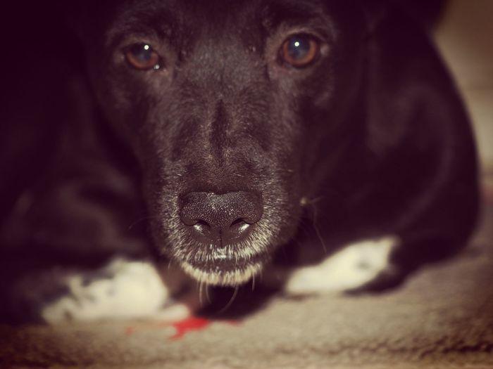 Pets Dog Looking At Camera One Animal Indoors  Mammal Portrait Mix Basenji Pet Portraits