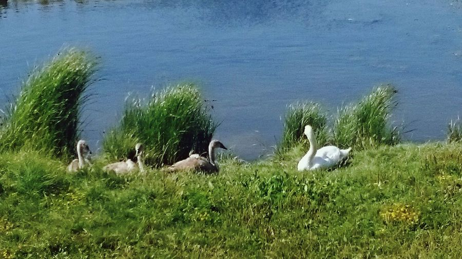 Swans Enjoying The Sun We Are Family Chilling With Mum Essex Coast Wetlands