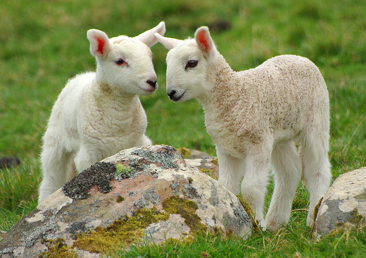 Close-Up Of Lambs On Field