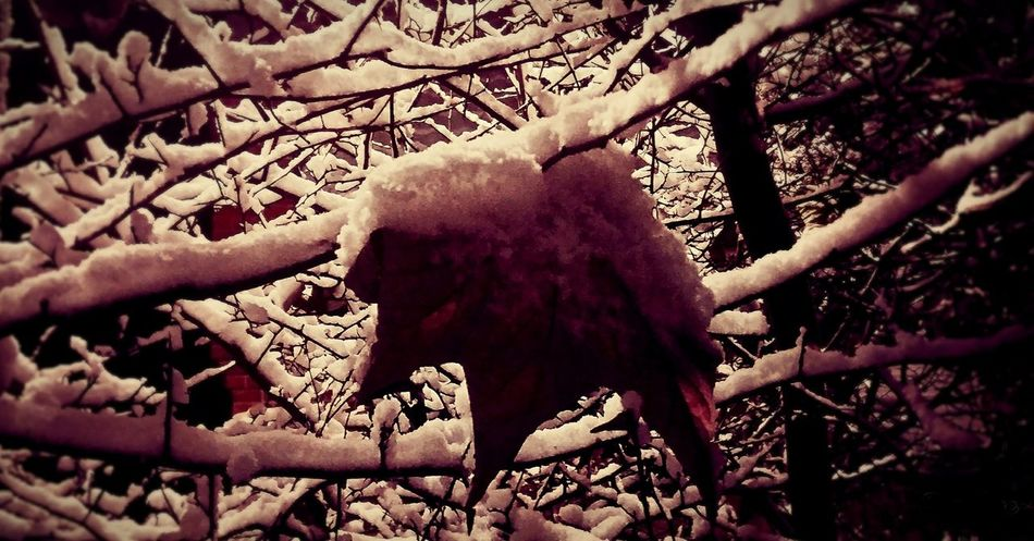 Schnee, letztes Blatt Nachtaufnahme Nacht Schnee Snow Covered Snow Welk Zweige Day Fragility Flower Winter Close-up Freshness No People