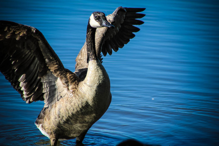 Close-up of canada goose on lake