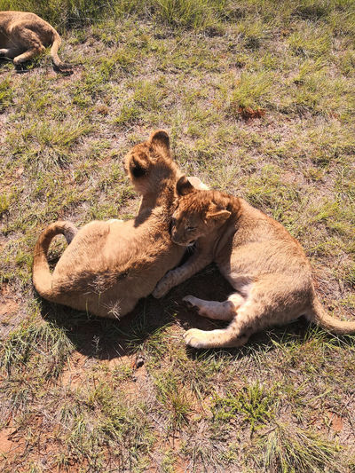 Lion cubs,