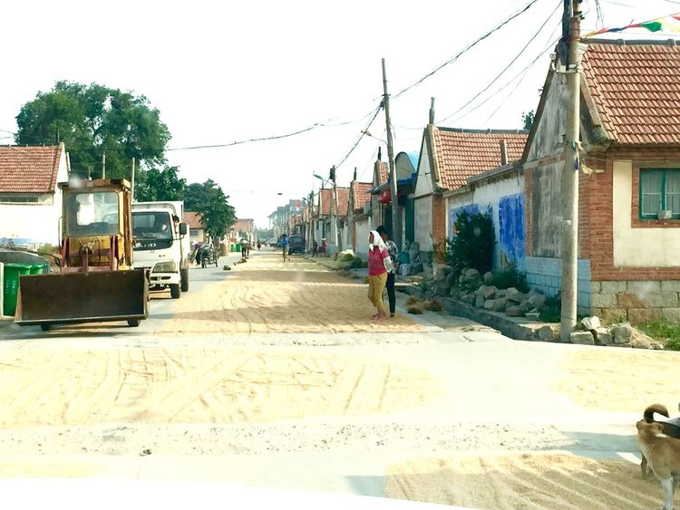 Village life in a rural countryside in northern China Street Road Wheat Drying Wheat On Street People Women Farm Equipment Truck Village Life Houses Farmhouse Power Lines Electrical Poles Colour Of Life Travel Shandong China Rural Urban Countryside Town Culture People And Places