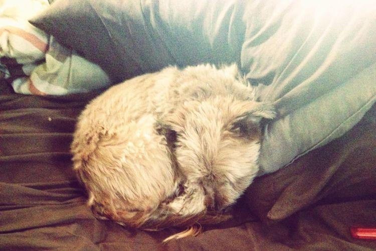 Mypetisbetterthanyours MyLove❤ Mybed Myviewcurrently Curledup Sleeping I Love My Dog Pet Photography  Pet Mypet ❤️