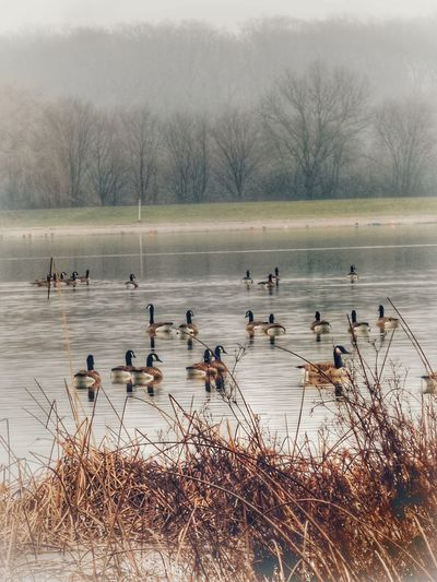 Wintermorgen in 3 D Winter Morning Cold Weather Geese In Winter Geese In Water A Flock Of Geese Nature Photography Cold Season Birds Lake View Cold And Wet Landscapes Kinzigsee Germany🇩🇪 Beliebte Fotos Bird Animals In The Wild Animal Wildlife Large Group Of Animals Nature Flock Of Birds Water No People Animal Themes Outdoors Day Beauty In Nature The Great Outdoors - 2018 EyeEm Awards