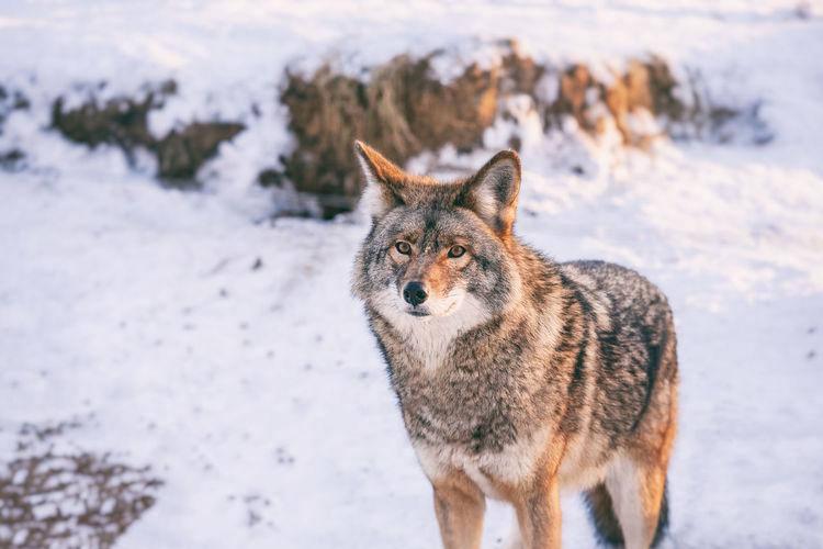 Coyote in winter Animal Themes Animal Wildlife Animals In The Wild Beauty In Nature Canada Cold Temperature Coyote Mammal Nature One Animal Snow Winter