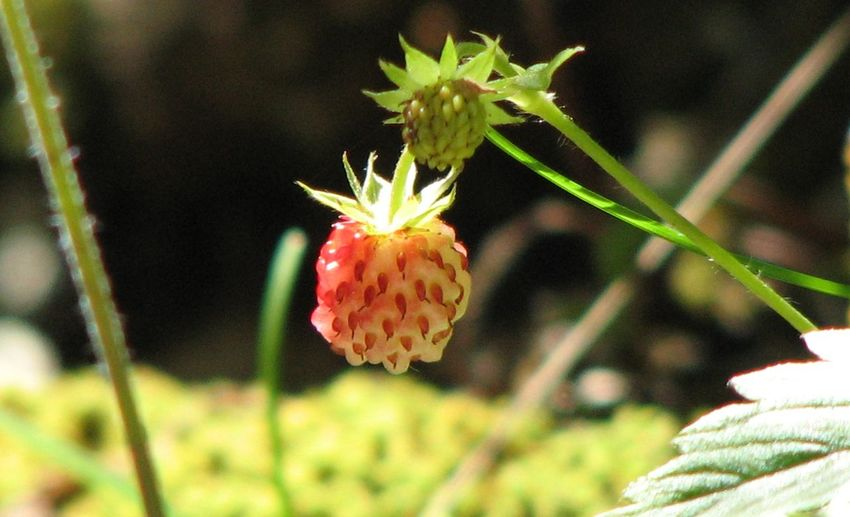 Nature Beauty In Nature Fraises