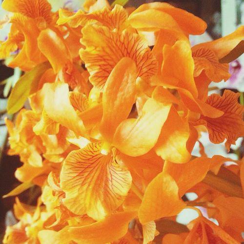 Orchids Flowers Unicolor Dendrobium Stardust