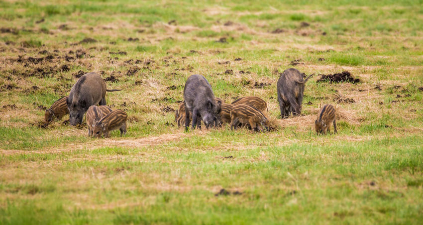 Boars seek food on a meadow Damage Animal Animal Family Animal Themes Animal Wildlife Animals In The Wild Boars Day Environment Grass Group Of Animals Hunt Hunting Land Mammal Medium Group Of Animals Nature No People Non-urban Scene Outdoors Plant Ravage Selective Focus Vertebrate Young Animal