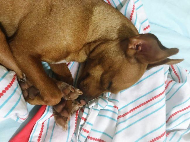 Sweet Dreams Mini Pinscher Mini Pincher One Animal Animal Themes Animal Domestic Pets Domestic Animals
