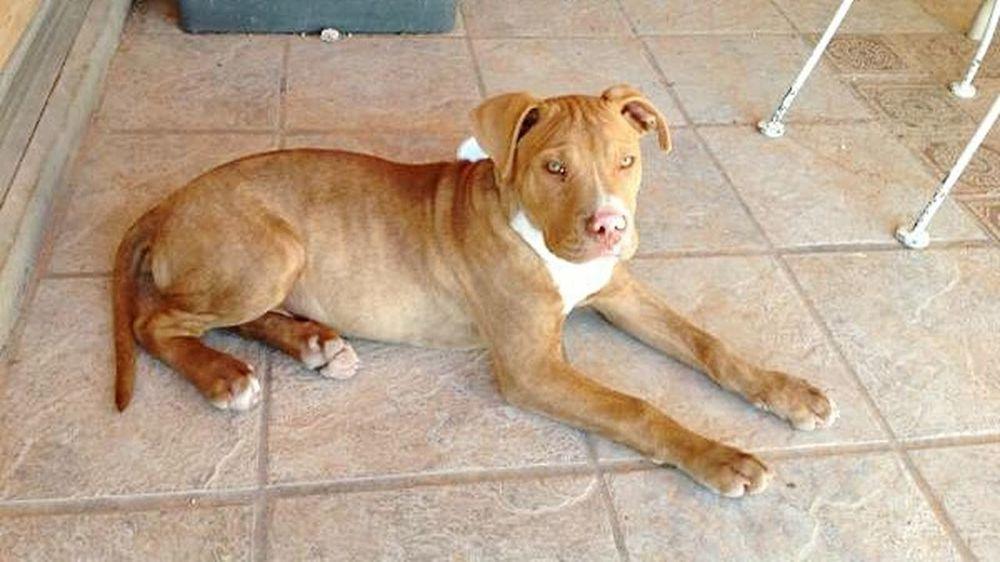 Pitbull Puppy Pitbulllover My Pitbull PitBullNation Pitbull Love Dogoftheday Doglovers Innocent I Love My Pitbull