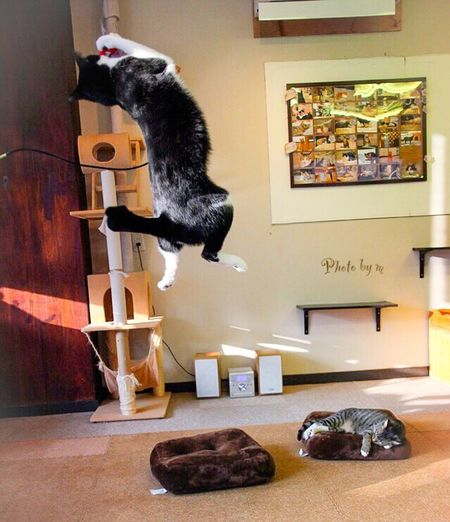 ジャンプ Cat Cat♡ Cat Lovers 保護猫 保護猫カフェ Animal Playing With The Animals 猫 Jump