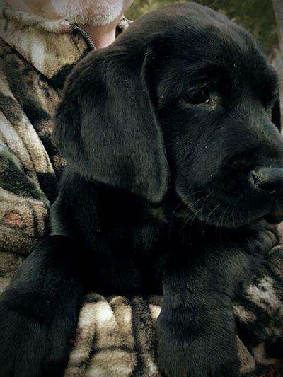Black Lab Black Lab Love Puppy ❤ Lab Black Lab Labrador Retriever Puppy Love ❤ DUKE  Dukenheimer