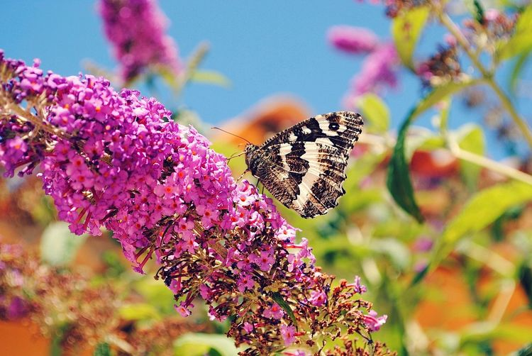 Close-up of butterfly on pink lantana camara during sunny day