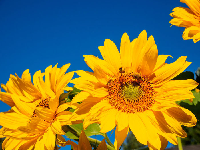Close-up of bee on sunflower blooming against clear sky