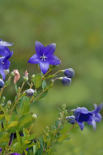 Flowering Plant Flower Plant Beauty In Nature Growth Fragility Vulnerability  Purple Freshness Close-up Petal Inflorescence Flower Head Focus On Foreground Nature Day Green Color Blue No People Plant Part