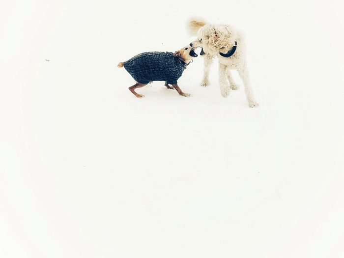 Dog Dogs Play Playing Playing Dogs Poodle🐩 Podenco White Snow Winter Studio Shot White Background Togetherness Close-up Snowfall Frozen Cold Temperature Pets Cold Covering Deep Snow Weather Condition Season  Snow Covered Snowcapped Pet Clothing Go Higher