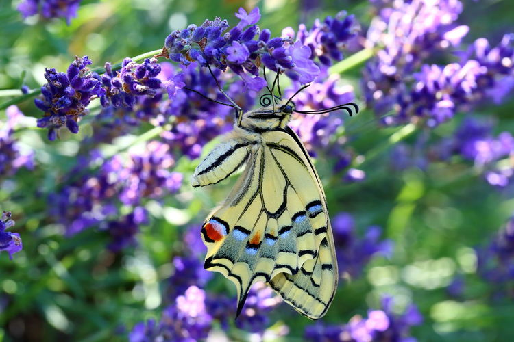 EyeEm Nature Lover Getting Ready Hanging Hello World Papilio Machaon Schwalbenschwanz Animal Wildlife Bokeh Break Butterfly Colorful Flowering Plant Flowers Garden Insect Lavender Lavender Flowers Macro One Animal Purple Resting Summer Swallowtail Butterfly Violet Vulnerability  The Still Life Photographer - 2018 EyeEm Awards 2018 In One Photograph