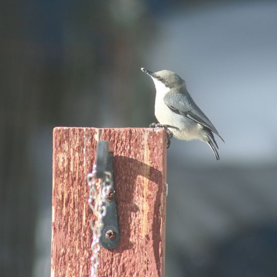 Pygmy Nuthatch in Colorado Bird Animals In The Wild Nature Spread Wings One Animal Animal No People Perching