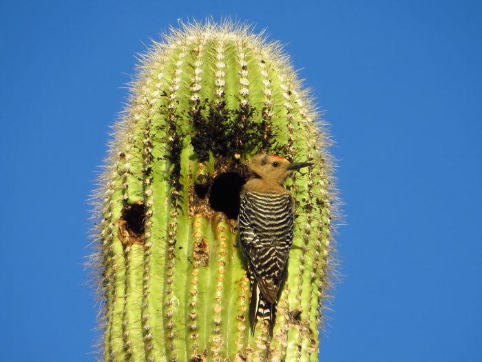 Saguaro Woodpecker Desert Arizona Bird Photography Birds_collection Birdwatching Birds Of EyeEm