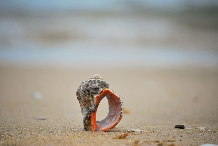 Close-up of seashell on the beach