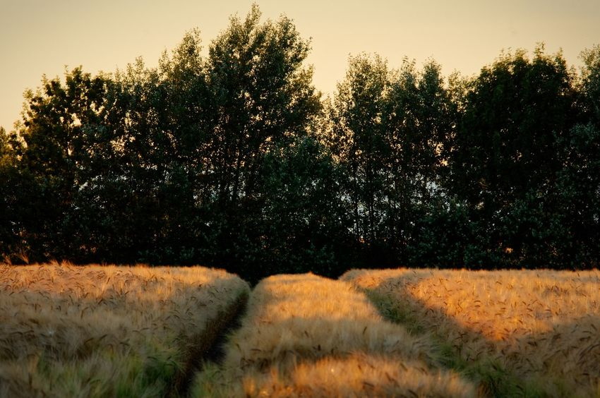Summer night in the fields near Kiel, Baltic Sea, on July 2, 2018. Photograph © Kay-Christian Heine Field Beauty In Nature Corn Field Cornfield Countryside Dusk Environment Field Golden Hour Growth Land Landscape Landscapes Nature No People Non-urban Scene Plant Remote Rural Scene Scenics - Nature Sky Sunset Tranquil Scene Tranquility Tree