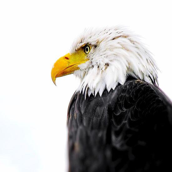 Eagle Eagle Animals Birds Bird Photography Check This Out