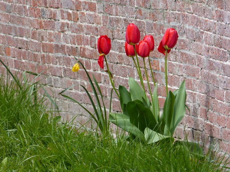 Tulps - Tulpen - in spring ... :-) Beauty In Nature Day Flower Flower Collection Flower Photography Flowers Freshness Growth Nature No People Outdoors Plant Red Red Flower Red Tulips Spring Flowers Springtime Tulp Tulp - Flower Tulpe Tulpe Photography Tulpen Tulpenblüte Tulpes Tulps