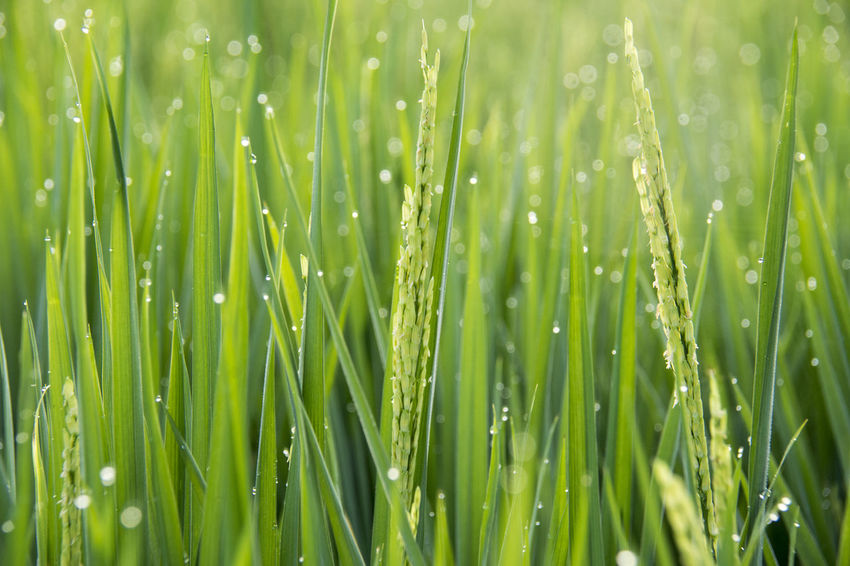 Green Color Growth Plant Drop Wet Water Nature Beauty In Nature Freshness Blade Of Grass Close-up No People Field Dew Grass Agriculture Backgrounds Environment Outdoors Rain Purity RainDrop
