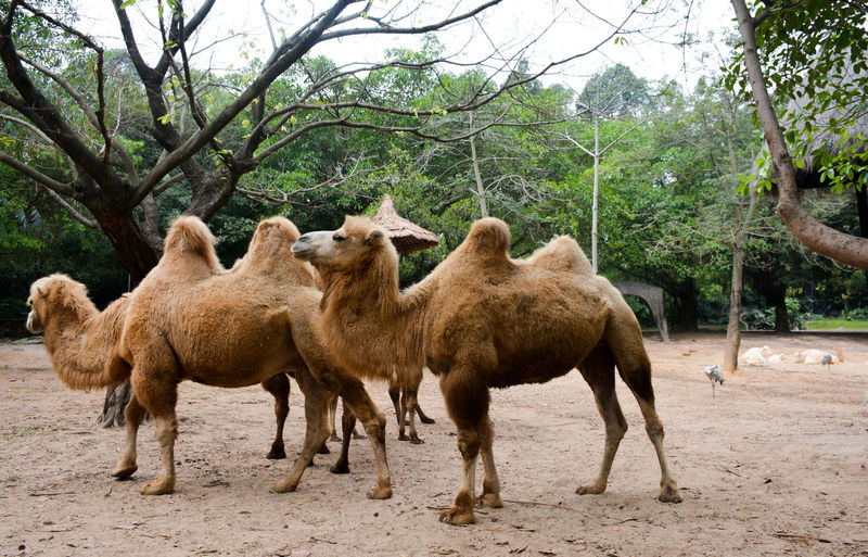 Bactrian camels on field