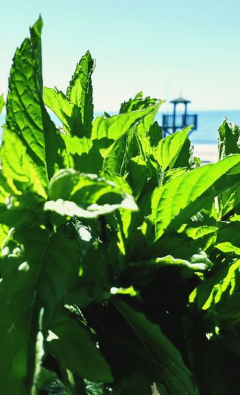 Fresh Mint Beach FasinatingForever Tree Leaf Agriculture Rural Scene Vegetable Close-up Sky Plant Green Color Food And Drink First Eyeem Photo EyeEmNewHere Go Higher Stories From The City