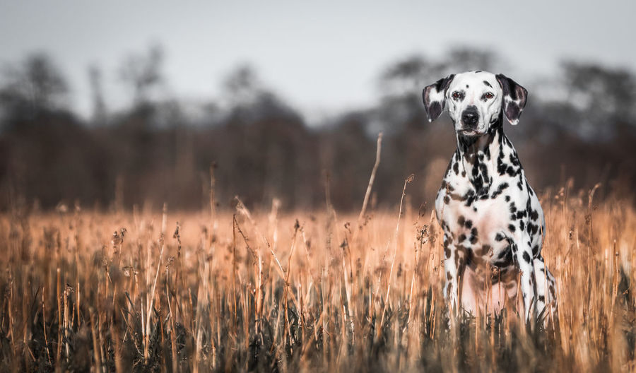 Dalmatian Dog sitting in a field looking towards the camera Animal Head  Animal Themes Canine Dalmatian Dog Day Dog Domestic Animals Focus On Foreground Grass Looking At Camera Mammal Nature No People One Animal Outdoors Pets Plant Portrait Purebred Dog