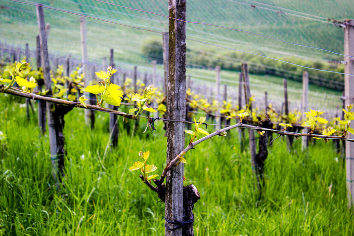 Beauty In Nature Close-up Day Fence Field Flower Flower Head Focus On Foreground Freshness Grass Green Color Growth Nature No People Outdoors Plant Tree Vine Wine Grapes Winegrapes Winegrowing Live For The Story Wine Not