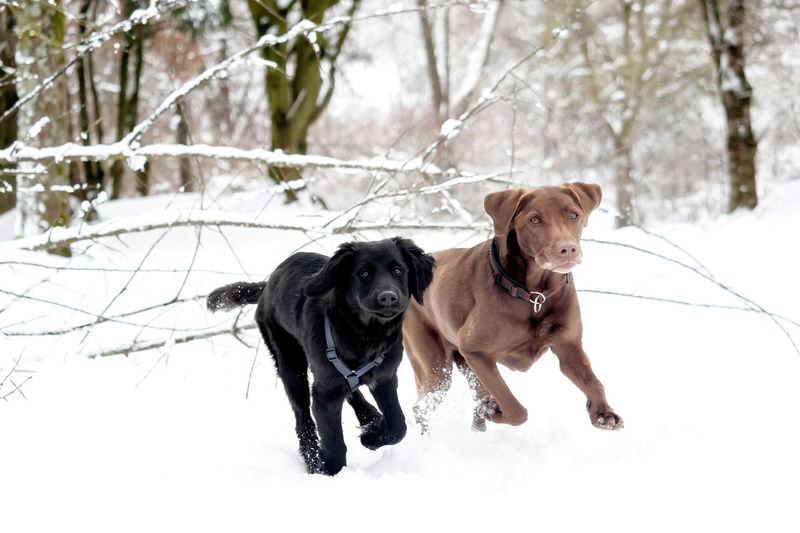 A labrador and a puppy are playing in the snow Bereed Black Breed Cold Cute Dog Dogs Domestic Family Friend Happy Labrador Labrador Retriever Mammal Obedient Dog Outdoor Pet Playful Playing Puppy Purebred Retriever Season  Snow Two Dogs White Winter Canine Pets Domestic Animals Vertebrate Animal Themes One Animal Animal Cold Temperature Tree Nature Plant Land Field No People Outdoors Purebred Dog