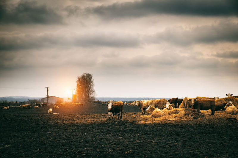 Cows on farm against cloudy sky during sunset