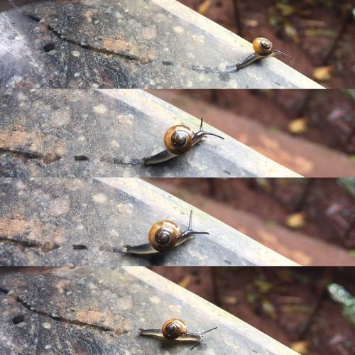 Snail trail Snail Snapsbyups Photography IPhone Day Outdoors No People Beauty In Nature Nature Monsoon Animal Themes Collage Grey Shell Snalitrail Snailshell Snail🐌 Snail Photography Snail Trail Snails Pace