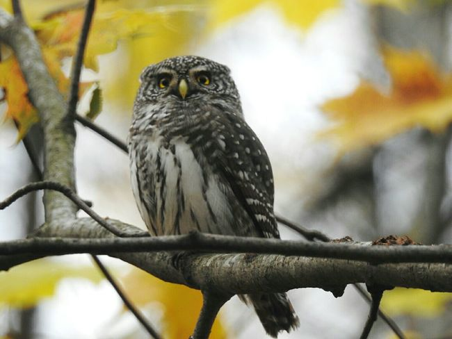 Nature Zoology Animal Themes Focus On Foreground Wildlife Day TakeoverContrast Colors Of Sankt-Peterburg Sosnovka Park Owlet Animals In The Wild Beauty In Nature Looking At Camera Autumn🍁🍁🍁 Sankt-Petersburg Russia